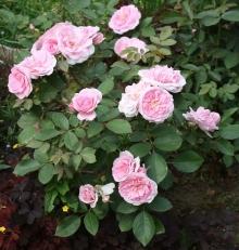 Роза канадская парковая Прайри Джой