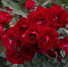 Роза канадская парковая Чэмплейн