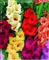 Гладиолусы крупноцветковая смесь окрасок