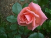 Роза флорибунда Калинка