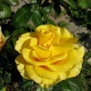 Роза почвопокровная Йеллоу Марин