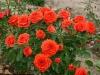 Роза миниатюрная Ориндж Джувел