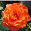 Роза плетистая Метанойя