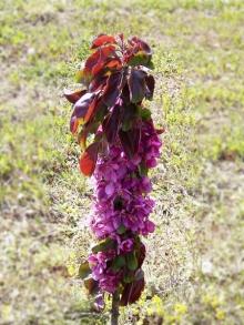 Яблоня колонновидная красноцветковая  Малиновое ожерелье