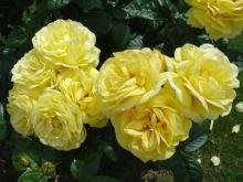 Роза парковая Лихткёниген Лючия