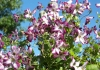 Клематис ботанический Танго