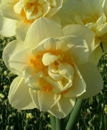 Нарцисс махровый Мэнли