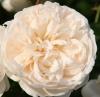 Роза парковая Саммэ Меморис