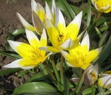 Тюльпан ботанический Поздний