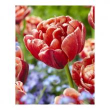 тюльпан махровый ранний Шамад