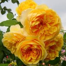 Роза английская парковая Грэхэм Томас