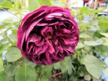 Роза английская парковая Дарси Бассел