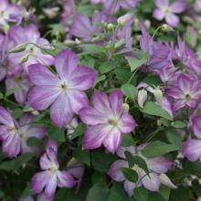 Клематис ботанический Пенил
