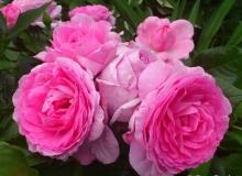 Роза парковая Гита Ренессанс