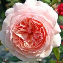 Роза английская парковая Э Шропшир Лэд