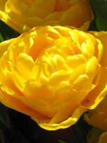 Тюльпан махровый Йеллоу Помпонетт