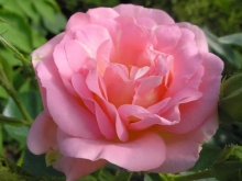 Роза канадская парковая Мари Викторин