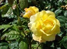 Роза парковая Чайнатаун