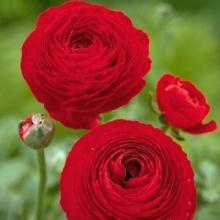 Лютик красный (Ranunculus Red)