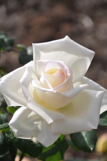 Роза флорибунда Сноу Вайт