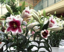 Лилия Цирано Длинноцветковые (Лонгифлорум)