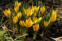 Крокус ботанический Голдилокс