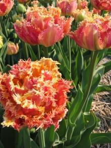Тюльпан махровый бахромчатый Эсприт