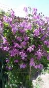 Клематис ботанический Память Сердца