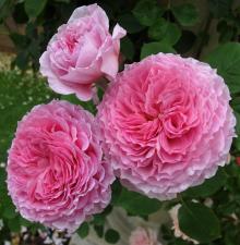 Роза английская парковая Джеймс Гэлвей