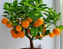 Цитрус Апельсин (Аранция)