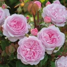 Роза английская парковая Оливия Роуз Остин