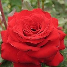 Роза парковая Флюоресцент