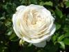 Роза парковая Артемис