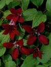 Клематис ботанический Гравети Бьюти