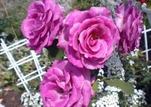 Роза флорибунда Дойче Велле