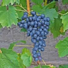 Виноград плодовый Аттика