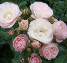 Роза мускусный гибрид Букет Парфе