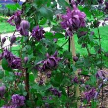Клематис ботанический Мэри Роуз