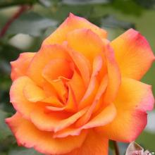 Роза парковая Сахара