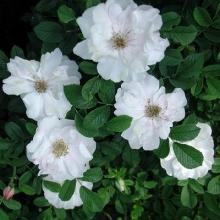 Роза канадская парковая Генри Хадсон