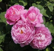 Роза английская парковая Мэри Роуз