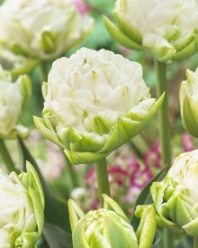 Тюльпан махровый  Уайт Маунтин