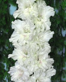 Нарцисс махровый Дельнашо