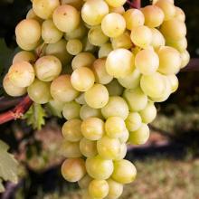 Виноград плодовый Восторг