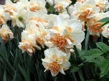 Нарцисс махровый Делнашо