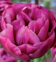 Тюльпан Махровый поздний Бэкпакер