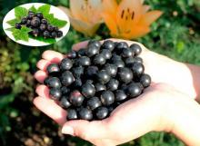 Смородина черная Гулливер