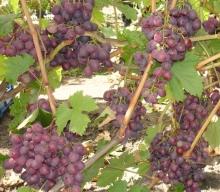 Виноград плодовый Мускат Новошахтинский