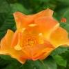 Роза канадская парковая Моден Санрайз
