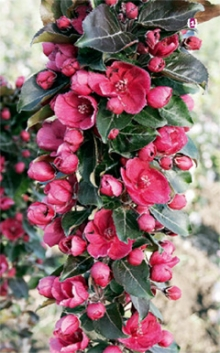 Яблоня колонновидная красноцветковая  Манящий аромат